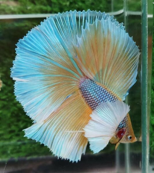 Live Betta Fish High Quality Halfmoon HM Male Yellow Pineapple Dumbo $35.00
