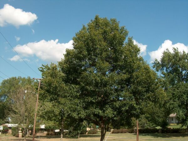 2 Sawtooth Oak Tree Produces acorns In 4 5 Years