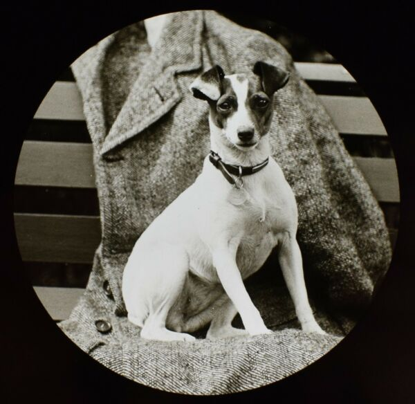 Glass Magic Lantern Slide DOG CALLED VENNIE WALKER ON JACKET C1910 PHOTO TERRIER GBP 15.00
