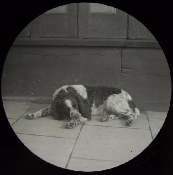 Glass Magic Lantern Slide DOG CALLED DASH C1900 VICTORIAN PHOTO SPANIEL GBP 15.00