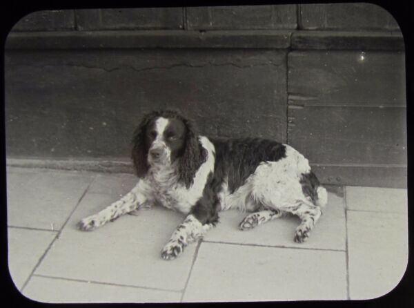 Glass Magic Lantern Slide DOG CALLED DASH NO4 C1900 VICTORIAN PHOTO SPANIEL GBP 15.00