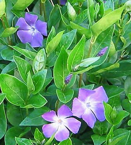 small GREEN LEAF VINCA minor 25 BARE ROOT PLANTS Periwinkle VINE Myrtle