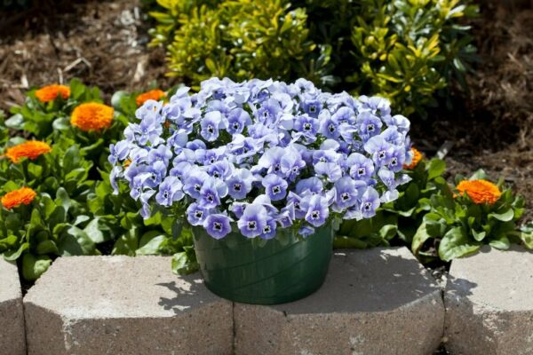 Trailing Pansy Seeds Freefall Marina 25 Pansy Seeds Hanging Basket Pansy $4.50