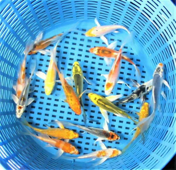 PREMIUM QUALITY 2.5quot; 3quot; Assorted Butterfly Fin Japanese Koi Live Pond Fish $69.99