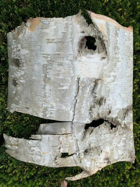 White Birch Bark Approximately 20 x 20 inches