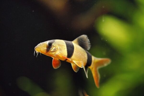3 Clown Loach 2quot; 2.25quot; Live Fish 2Day Fedex shipping $29.99