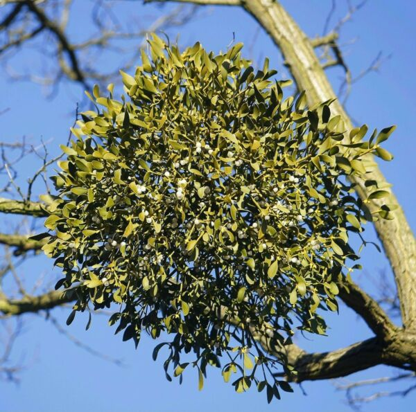 100 Sprigs A Large Box of Fresh Live Mistletoe Cut to Orderlots of berries