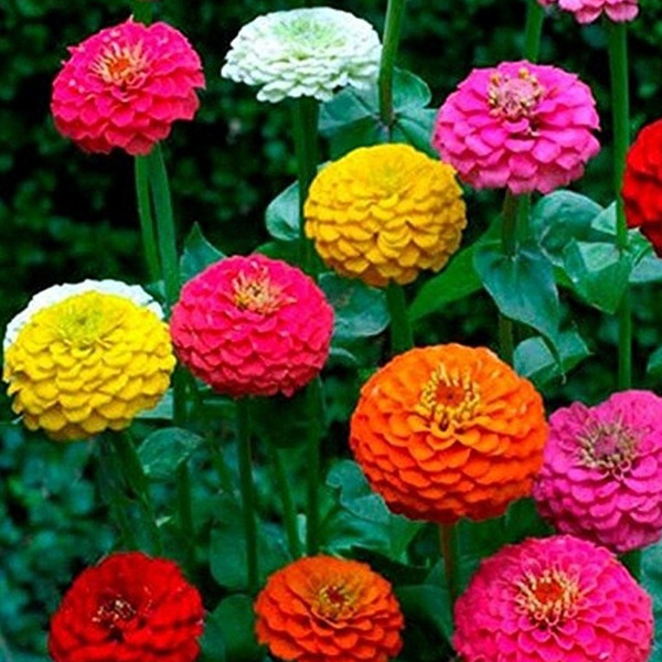 Zinnia California Giant Mix Seeds 100 Flower COLORFUL BLOOMS USA FREE SHIPPING