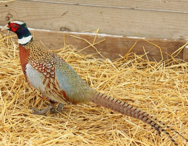 30 Chinese Ringneck Pheasant Hatching Eggs $60.00