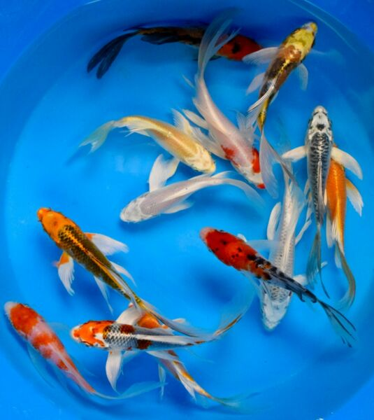 Assorted PREMIUM QUALITY 4quot; 5quot; Japanese Koi Butterfly Fin Live Pond Fish $675.00