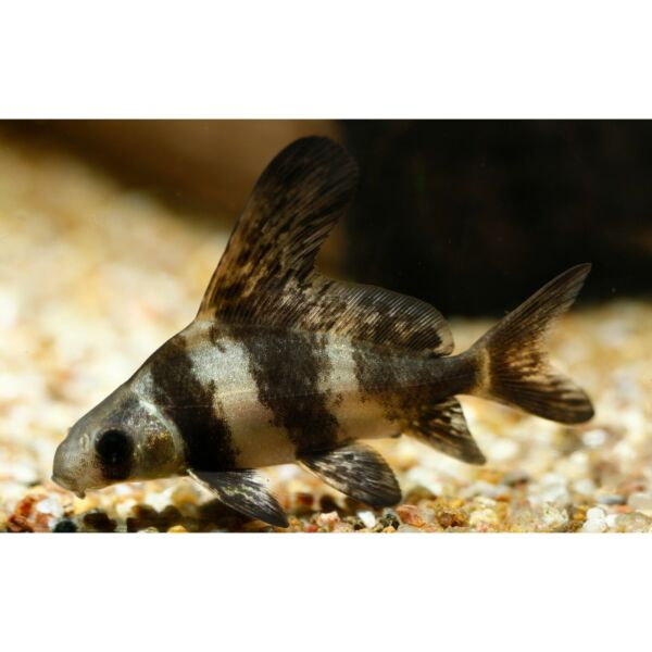 Chinese High Fin Banded Loach Live Tropical Freshwater Aquarium Fish Tank $64.99