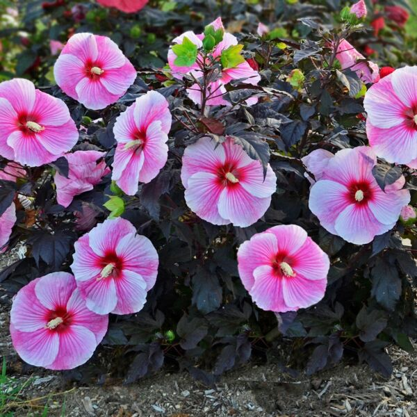 bush hibiscus STARRY STARRY NIGHT flower hardy 2.5quot; pot = 1 Live Potted Plant