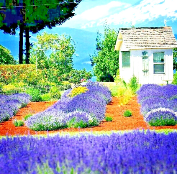 LAVENDER 1200+ SEEDS MUNSTEAD FREE SHIPPING MOSQUITO REPELLENT ENGLISH TRUE USA