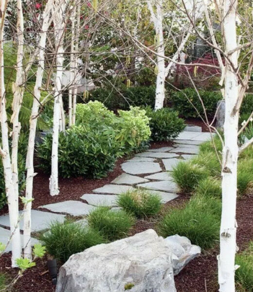 Paper Birch Tree Seedling ~1 Ft (BEAUTIFUL WHITE BARK) Buy Two Get One Free!