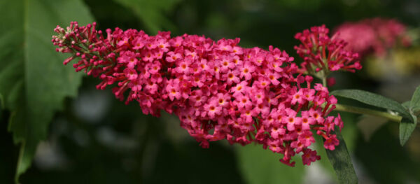 Buddleia 'Prince Charming' Butterfly Bush $19.99