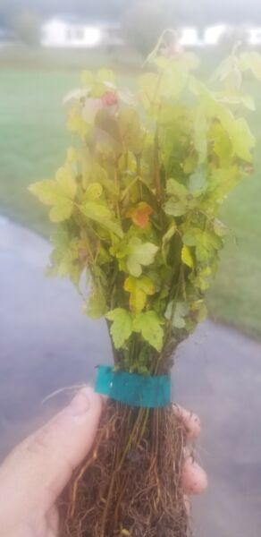 Trident Maple seedlings  50 for $30  Free shipping