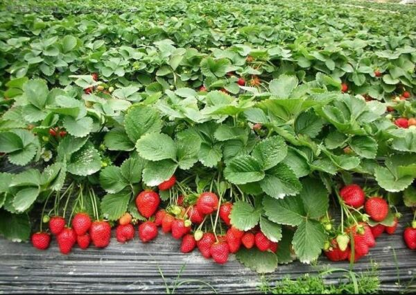 *NEW*  STRAWBERRY * GIANT*  LARGEST FRUIT  EVERBEARING 315 SEEDS
