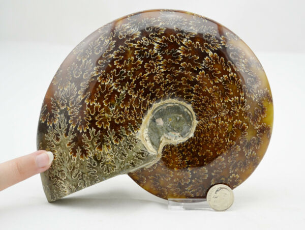 WHOLE Ammonite Great Suture Pattern XXL 6.5