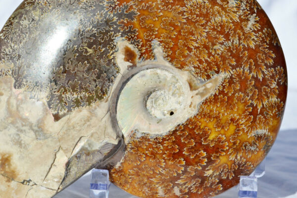 WHOLE Ammonite Great Suture Pattern Large 7.2