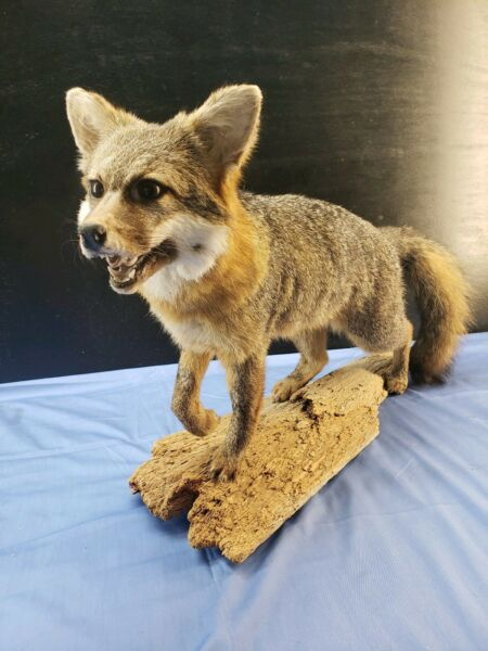 Fox Mantle Mount Taxidermy  Hunt Log Cabin office man cave