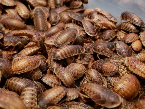 Dubia Roaches 100 (Small MediumLargeX-Large)