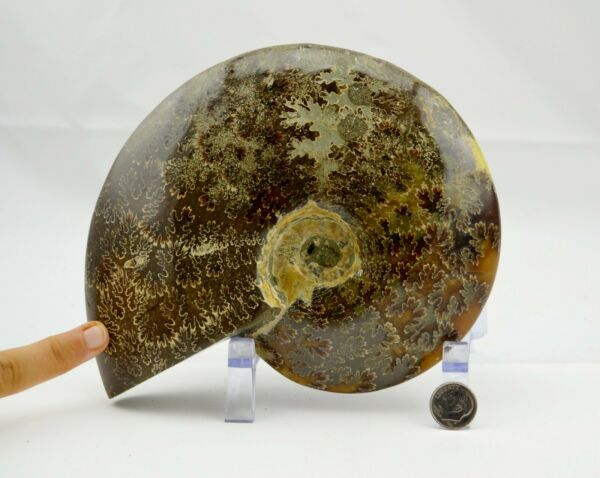 WHOLE Ammonite Great Suture Pattern XXL 7.0