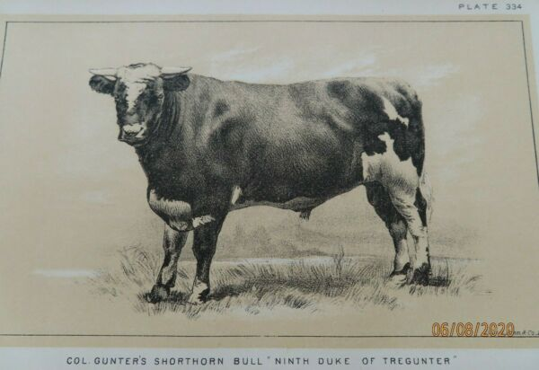 ANTIQUE SHORTHORN BULL Litho. Print CATTLE COWS FARMS RANCHING 1888