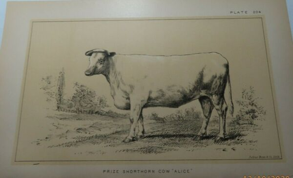 ANTIQUE COW Print PRIZE SHORTHORN COW Named Cattle Farming Ranching