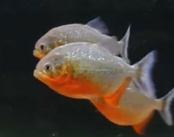 SMALL Red Belly Piranha FRY Live Freshwater Aquarium Fish $12.00