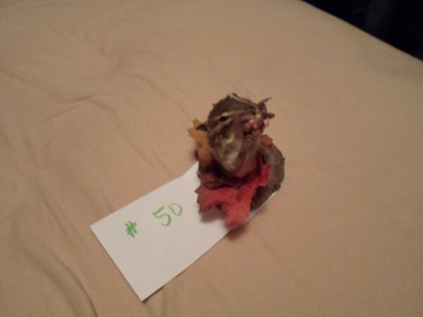 Chipmunk Mount Taxidermy  half mount  # 50