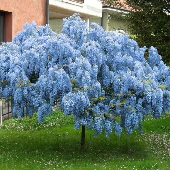 NOW SHIPPING -  Stunning Live Potted Chinese Blue Weeping  Wisteria Tree + Bonus