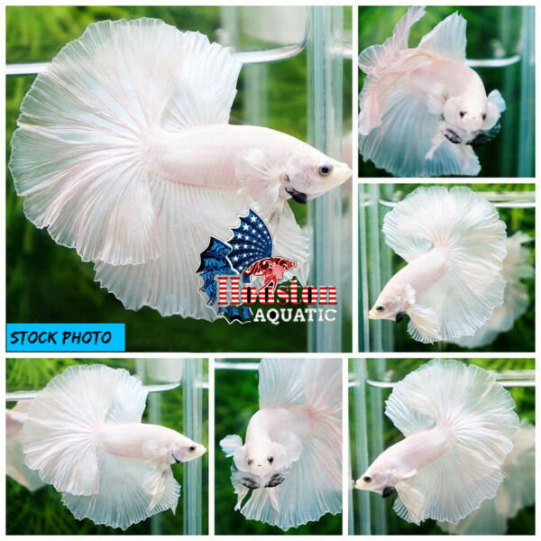 Live Betta Fish High Quality Halfmoon HM Platinum White Dumbo USA Seller $35.00