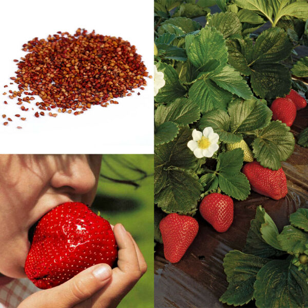Giant Strawberry Seeds Garden Fruit Plant Sweet And Delicious - UK