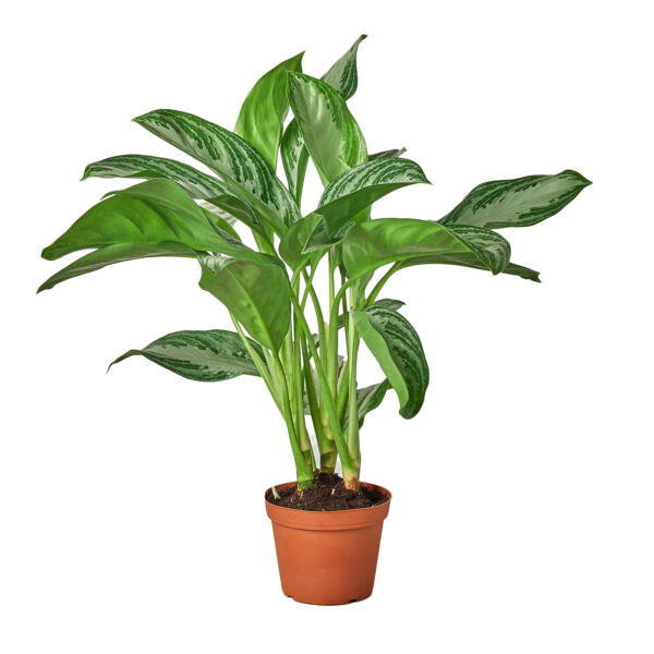Chinese Evergreen #x27;Silver Bay#x27; 6quot; Pot $32.99