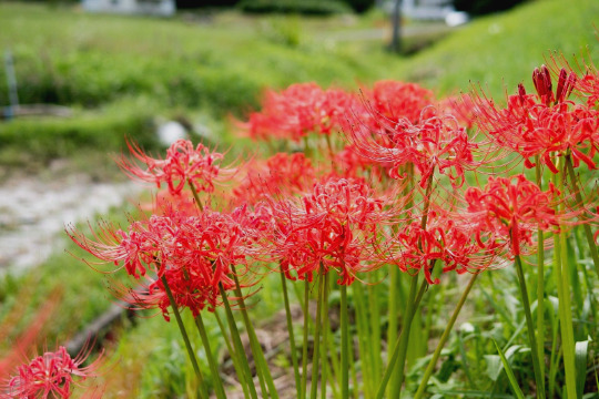 Red Spider Lily Flower Heirloom Bulbs 2 Fresh Healthy Lycoris Radiata Hurricane