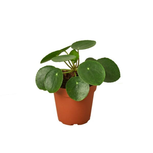 Pilea Peperomioides #x27;Chinese Money#x27; 4quot; Pot $15.99