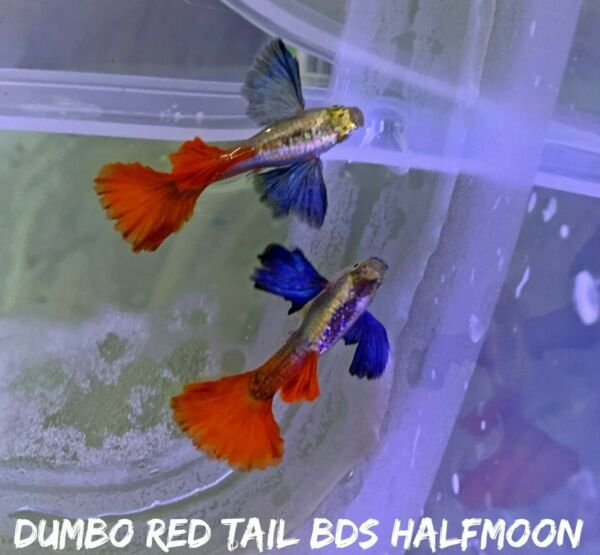 1 Pair Dumbo Rose Red Tail Live Aquarium Guppy Fish High Quality Premium A $28.80