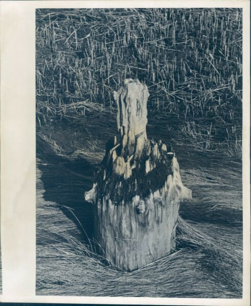 1970 Press Photo Tree Stump Decaying Natural System Recycling Ma 8X10 $12.99