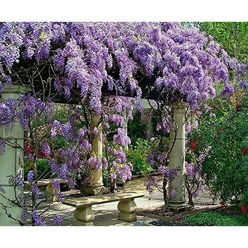 Live Plant Amethyst Falls Wisteria Vine Flowers 3 Inch Pot Garden Outdoor New