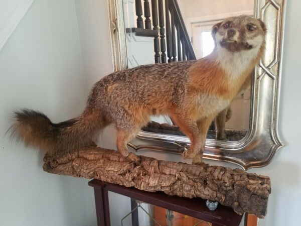 Gorgeous Silver ? Fox Mantle Mount Taxidermy Texas Hunt Deer Antlers Log Cabin