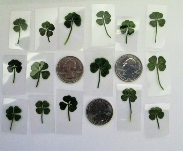 15 Real 4 Leaf Clovers - Graduation Wedding Luck - 15 Genuine Four Leaf Clovers