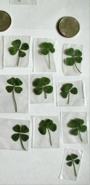 Real 4 Leaf Clovers - Father's Day Gift - 10 Genuine Four Leaf Clovers