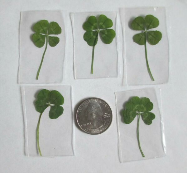 5 Real 4 Leaf Clovers -  Graduation Father's Day (5 Genuine Four Leaf Clovers)