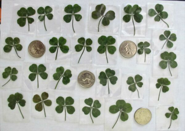 25 Real 4 Leaf Clovers - Summertime Luck (25 Genuine Four Leaf Clovers)