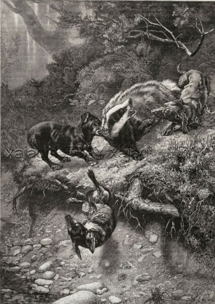 Dog Dachshunds Hunting Badger Fierce Fight Large 1880s Antique Print amp; Article $69.95