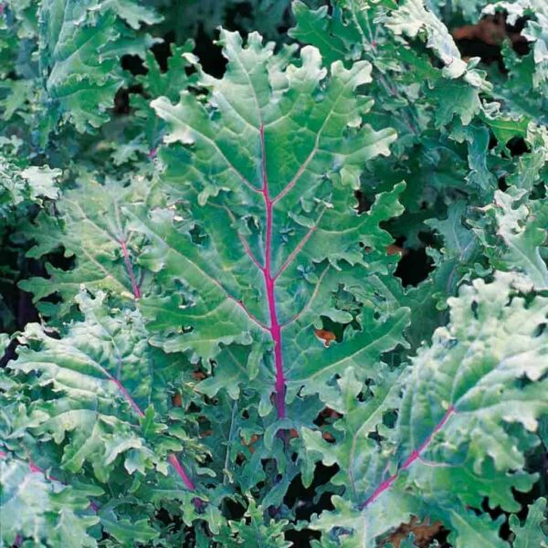 200 RED RUSSIAN KALE SEEDS HEIRLOOM 2021 NON GMO FREE SHIPPING