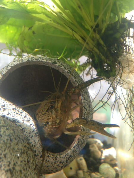 2 Marmorkrebs Marbled Crayfish 0.5quot; 1quot; pet for freshwater tanks grows to 4 5quot; $14.00