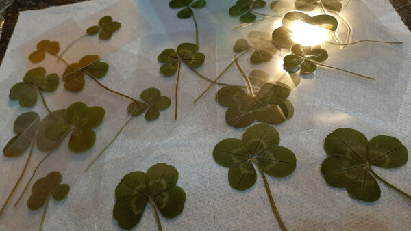 Real Four Leaf Clover - Laminated - 4 Leaf Clover - Business Card Laminated Size