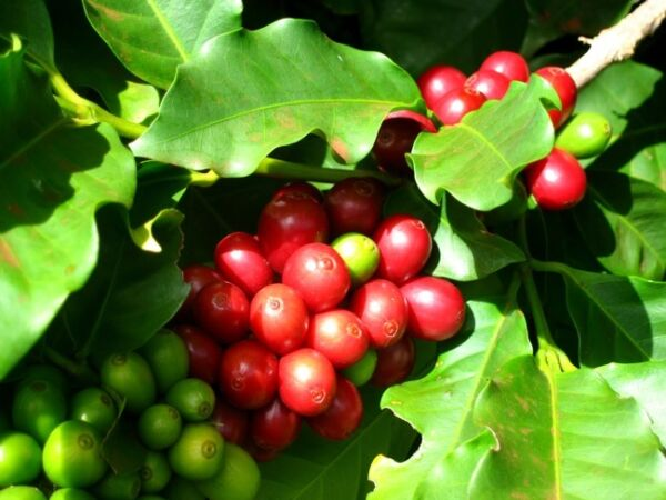 Coffee Plant Seeds - KENYA PEABERRY - MEDIUM STRONG BEANS - ONE POUND Seeds