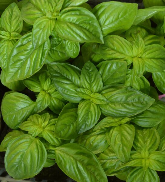 Genovese Basil Herb Seeds, NON-GMO, Heirloom, Variety Sizes, FREE SHIPPING
